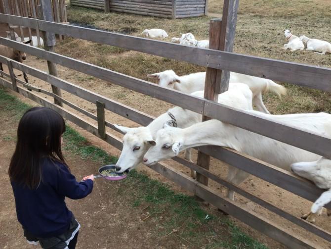 昭和村/やぎに餌をあげる女の子