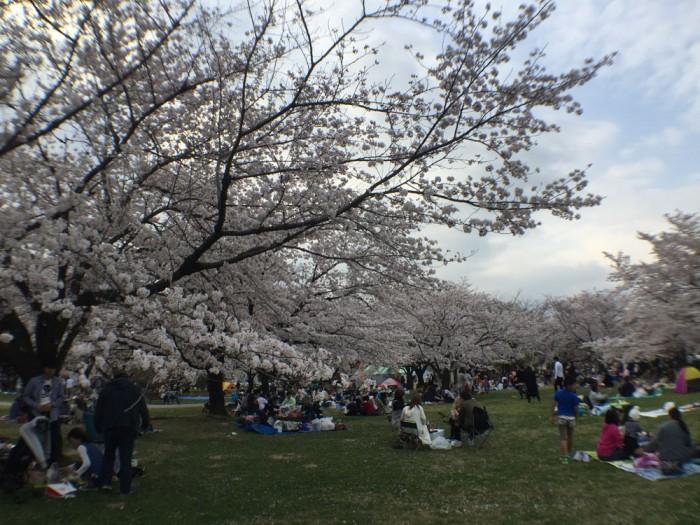 各務原市桜まつりで花見 in 各務原市民公園
