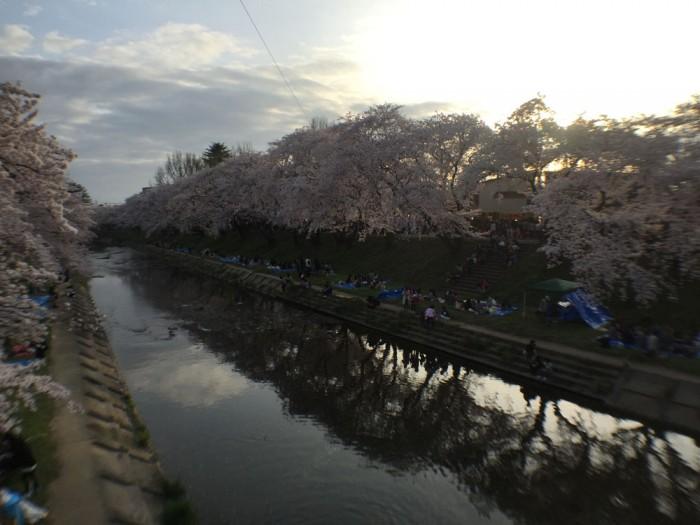 新境川の桜並木