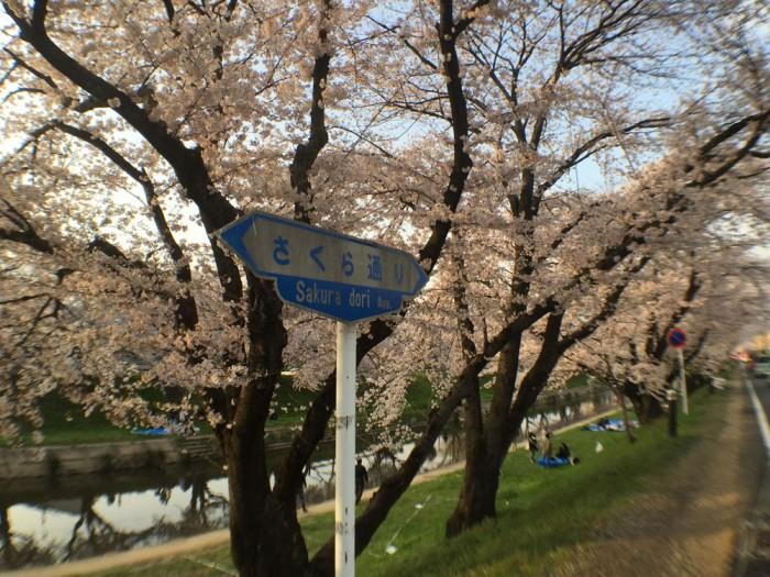 新境川の桜並木/さくら通り
