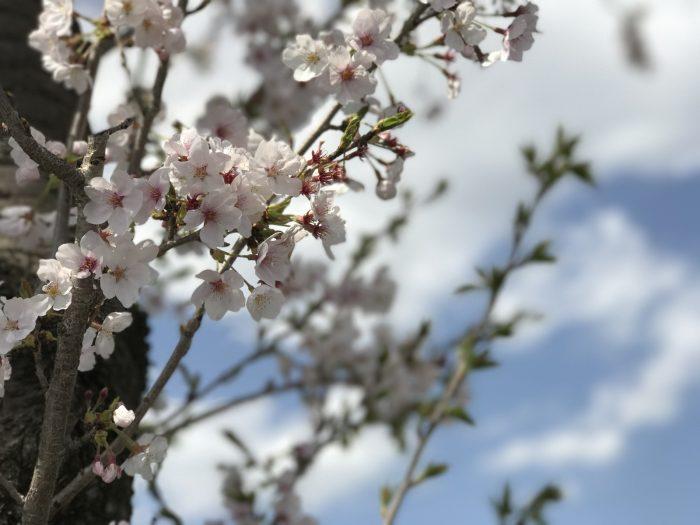 桜(ポートレートモードで撮ってみた)