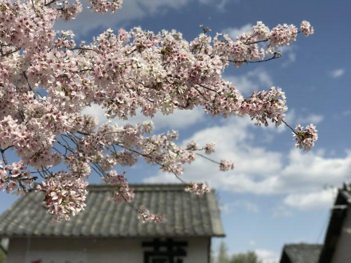 犬山の桜(ポートレートモードで撮ってみた)