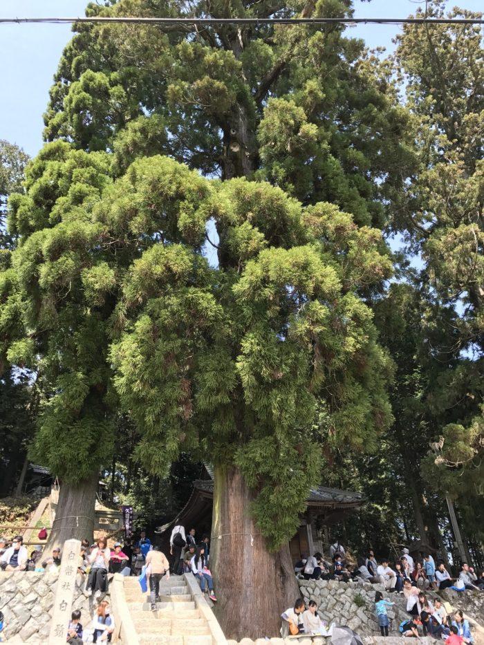 白鬚神社の大木