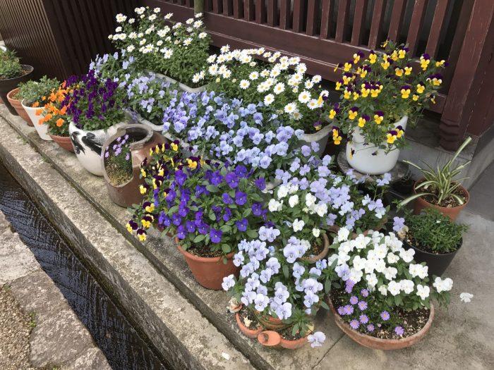 郡上八幡:軒先の水路と花々