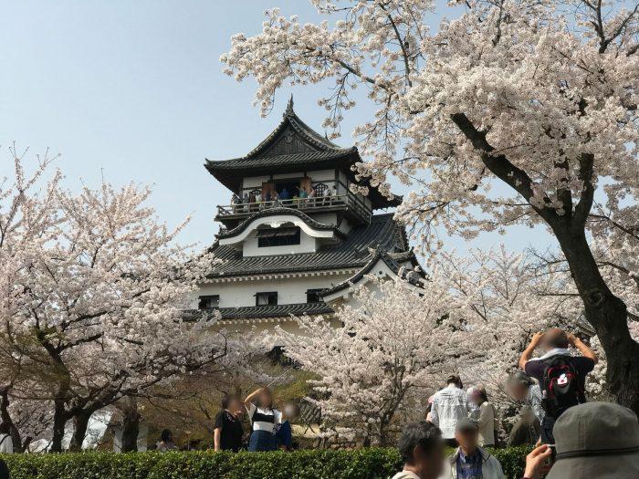 天守|桜満開の犬山城