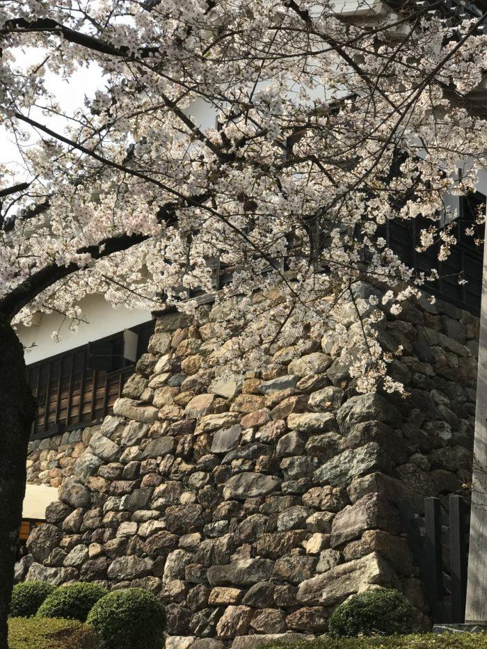 石垣|桜満開の犬山城
