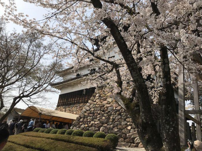 桜満開の犬山城