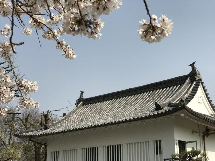桜が見頃の犬山城